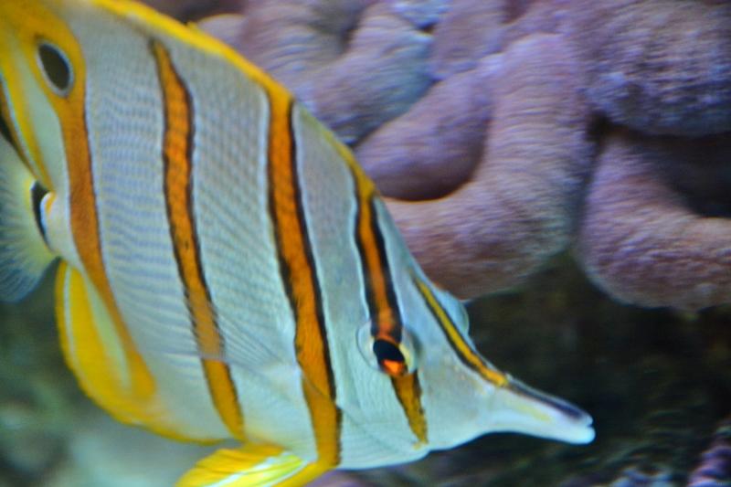 copperband-butterflyfish-800x533