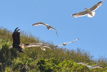 eagle-and-gulls