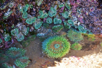 giant-green-sea-anemone