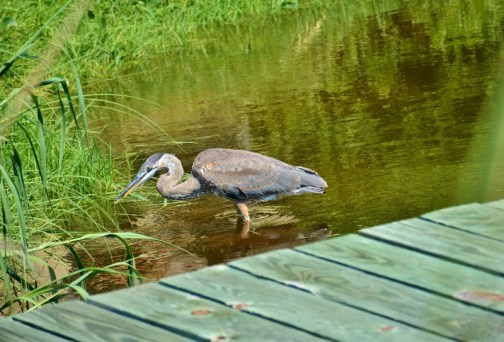 great-blue-heron-800x543