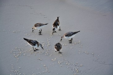 sandpipers-800x533