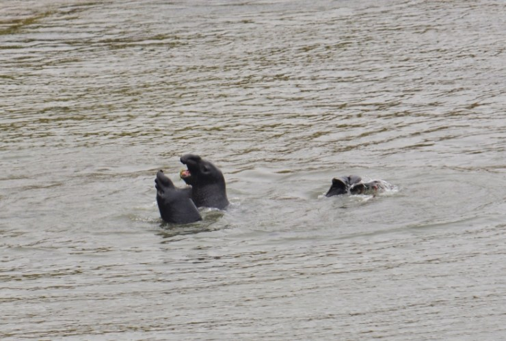 Elephant Seals at Point Reyes (2)