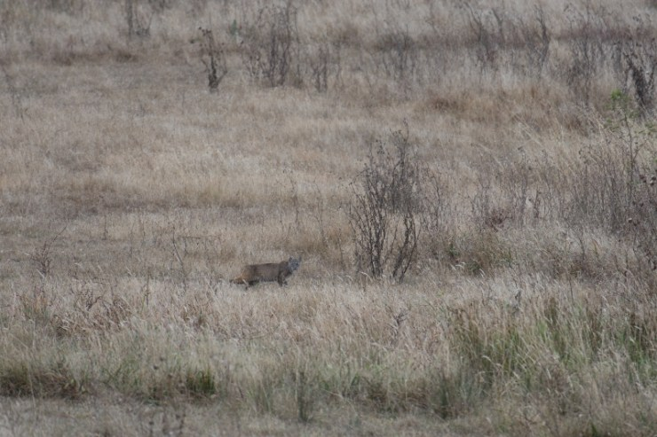 bobcat 2 - point reyes (800x533)