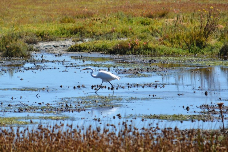 egret - point reyes
