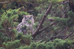 great horned owl - point reyes (5)