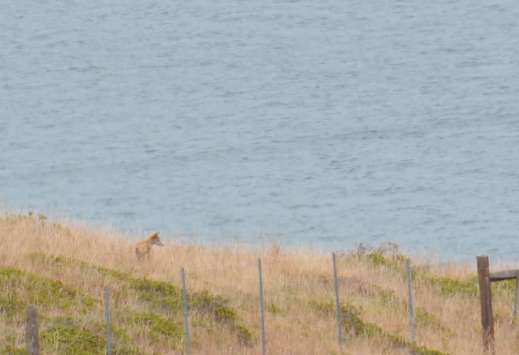 point reyes coyote and coast
