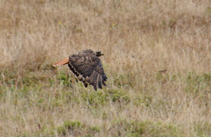 red tailed hawk - point reyes