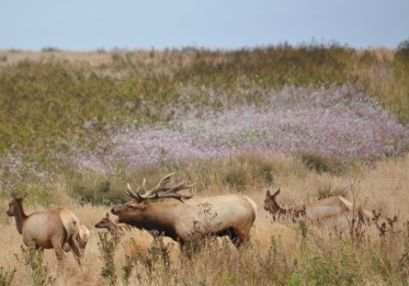 tule elk - point reyes 1