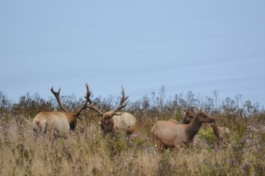 tule elk - point reyes 4