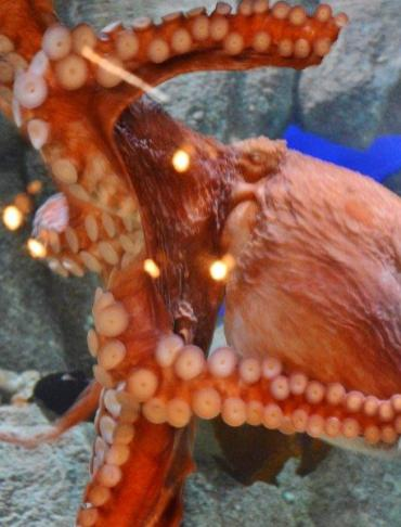 Monterey Bay Aquarium - giant octopus