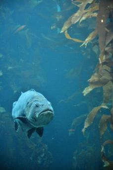 Monterey Bay Aquarium - kelp forest giant grouper