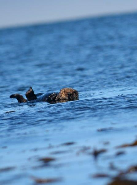 Sea Otters in Monterey Bay 2