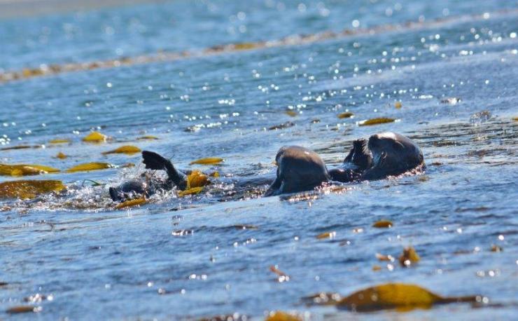 Sea Otters in Monterey Bay 3