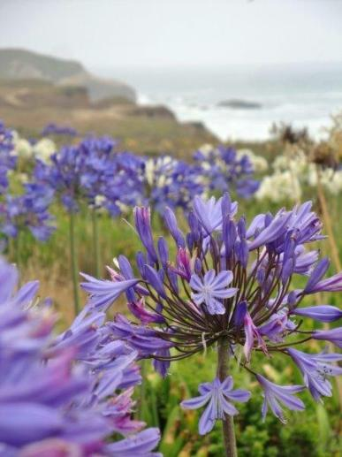 Montara Beach allium wildflowers (3)