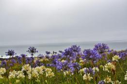 Montara Beach allium wildflowers (5)