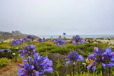 Montara Beach allium wildflowers