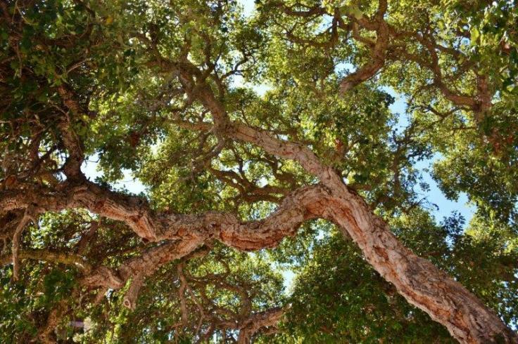 coast live oak trees in carmel
