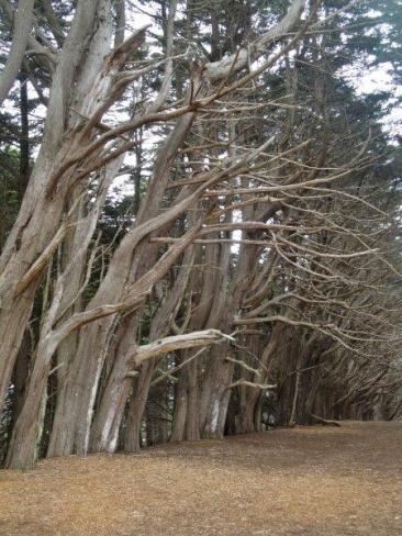 cypress tree tunnel Fitzgerald Marine Reserve