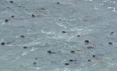 seals in the water at Fitzgerald Marine Reserve