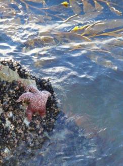 Coast Guard Pier - starfish