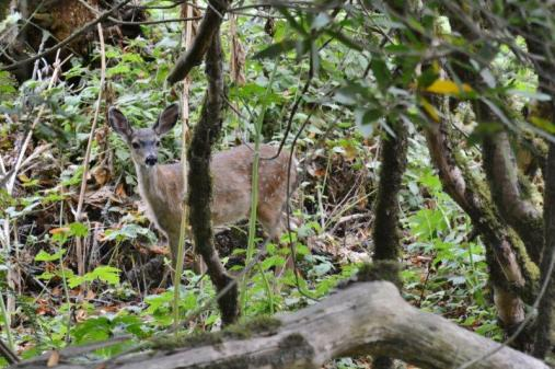 Deer in Muir Woods