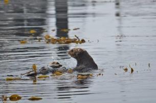 Sea Otters 2 - Monterey Bay Marina