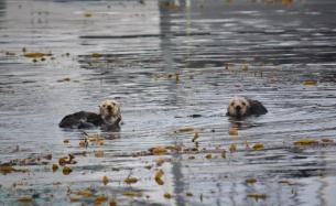 Sea Otters - Monterey Bay Marina