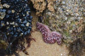 Starfish - Coast Guard Pier Monterey Bay