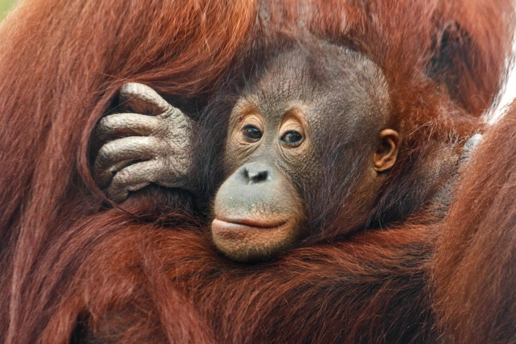 Happy Days: 5 Great animal attractions to visit in Southern England. Image of baby orang-utan being cuddled by elder.
