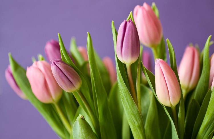Blooming lovely: the positive power of flowers.  Image of a bunch of tulips on a purple background