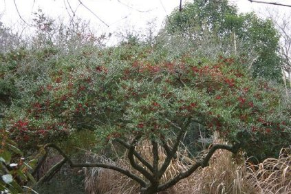yaupon-holly-make-tea-from-leaves-walter-reeves-the-georgia-yaupon-holly