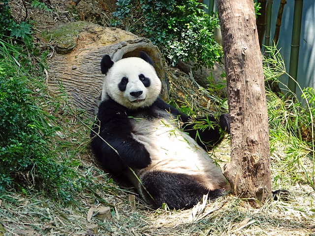 Go see the pandas when traveling to DC