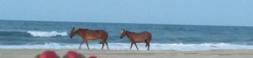 Wild Spanish Mustangs of Corolla, NC