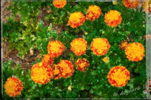 """Marigolds taken in the gardens at Colonial Williamsburg, Virginia. Processed with Topaz Impressions """"Abstract 2"""" and on1 border """"Dano""""."""