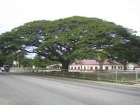 Rain tree in Tonga.