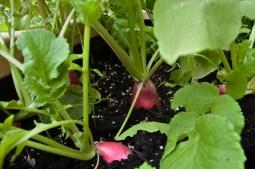 Radishes in garden.