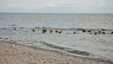 Rocks and waterfowl at Kew beach.