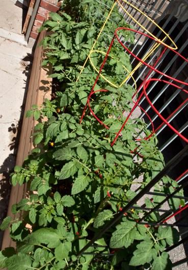 Tomato plants in planter box.