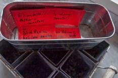 Saved tomato seeds.