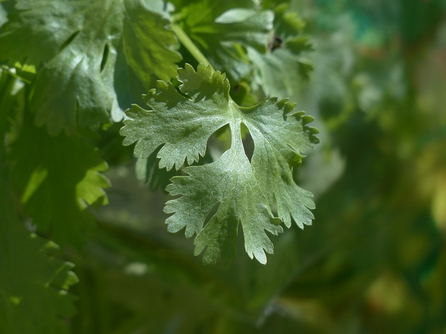 Cilantro is one of the most effective detoxifiers of heavy metals. Here is how to grow cilantro indoors.