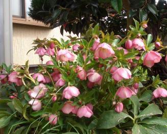 kurisumasu-rozu