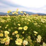 コスモスの育て方と花言葉【夏~秋に咲くガーデニング草花】