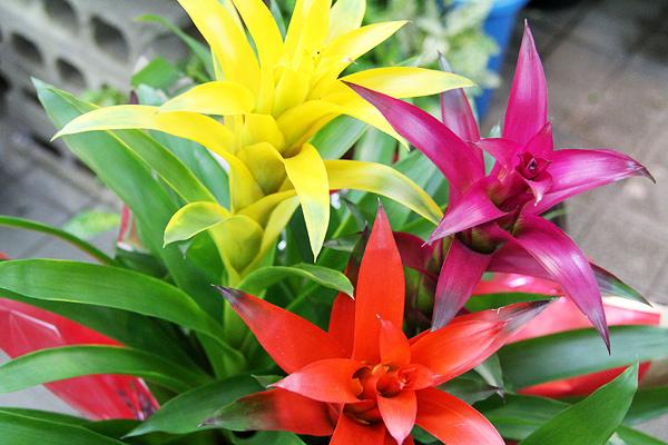 人気観葉植物グズマニア