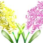 ヒアシンスの育て方と花言葉【春に咲く秋植え球根ガーデニング草花】