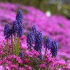 ムスカリの育て方と花言葉【春に咲く秋植え球根ガーデニング草花】