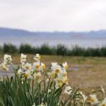 スイセン(水仙)の育て方と品種や花言葉【春に咲く秋植え球根ガーデニング草花】