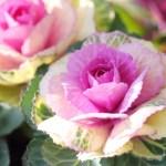 ハボタンの育て方や種類・花言葉を紹介!【冬に咲くガーデニング草花】