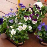 パンジー&ビオラの鉢花の育て方や寄せ植え・花言葉を紹介!