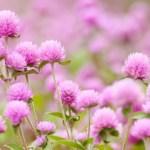 センニチコウの育て方と花言葉【夏に咲くガーデニング草花】