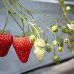 イチゴは子供の健康を守る栄養豊富な果物!